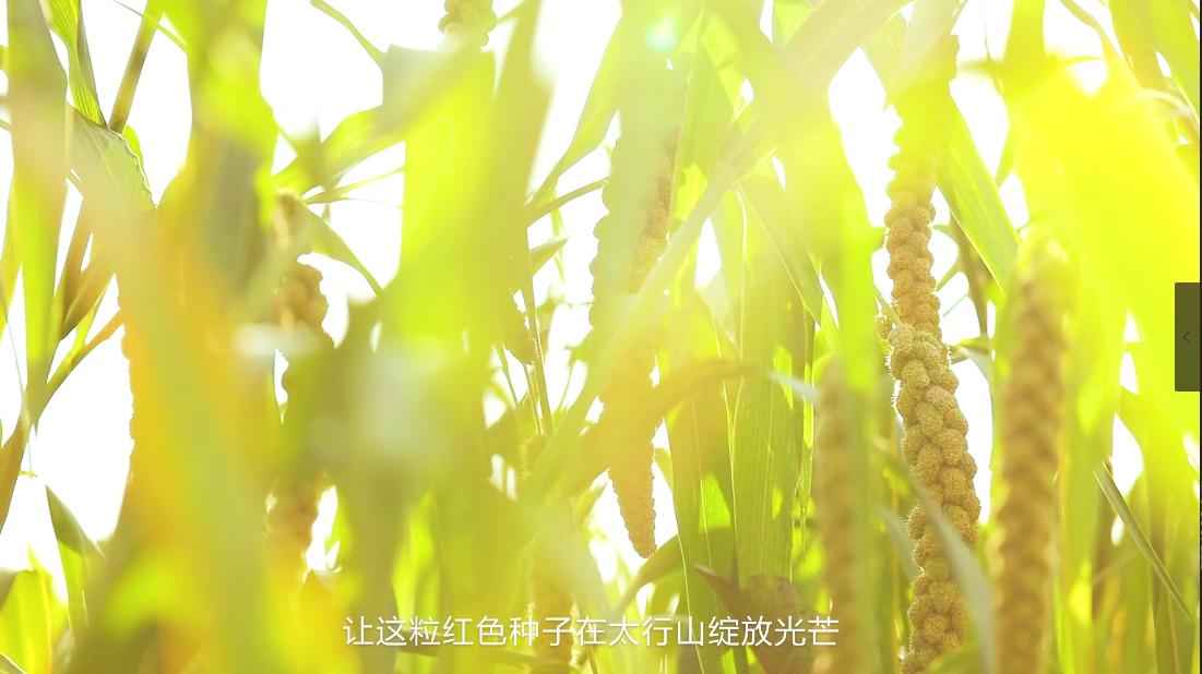 八路军的故乡,我们的家园-武乡羊肥小米